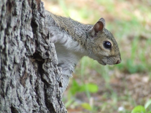 Florida Squirrel