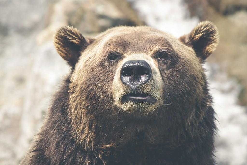 Grisly Bear